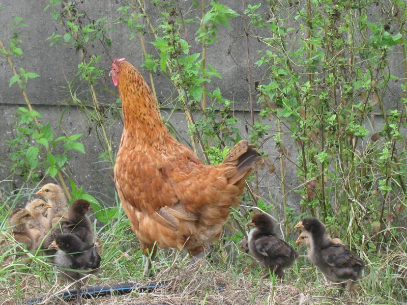 La poule et ses poussins kitine loisirs - Poule et ses poussins ...